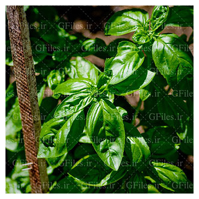 تصویر با کیفیت از گیاه ریحان (سبزیجات) با فرمت jpg