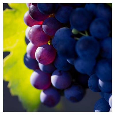 دانلود تصویر و عکس با کیفیت از نمای نزدیک انگور سیاه