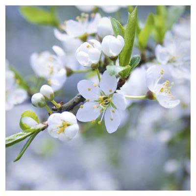 دانلود عکس با کیفیت شکوفه بهاری سفیدرنگ از نمای نزدیک