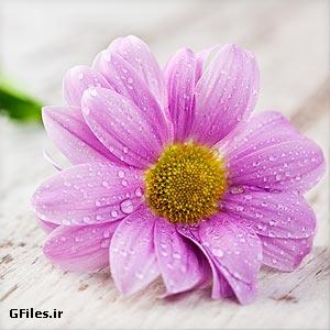 دانلود عکس با کیفیت گل صورتی زیبا با فرمت jpg
