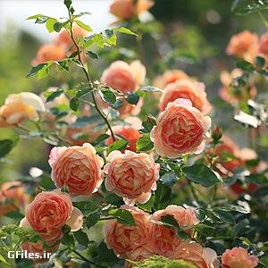 دانلود تصویر با کیفیت از گل های رز ارائه شده با پسوند jpg