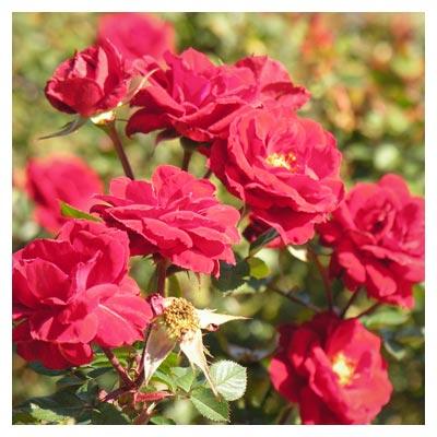 عکس با کیفیت گلهای رز