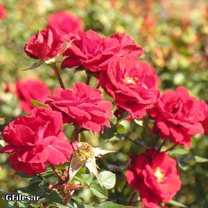 دانلود تصویر شاتراستوک گل های رز زیبای موجود در باغ و باغچه