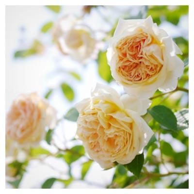 گلهای رز زرد