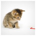عکس با کیفیت بچه گربه