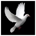 دانلود تصویر با کیفیت از پرواز کبوتر در بکگراند سیاه (White Dove on Black Background)