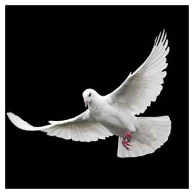 بکگراند و تصویر با کیفیت پرواز کبوتر با بال های باز (White Dove on Black Background)