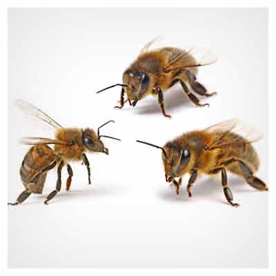 عکس با کیفیت زنبور عسل