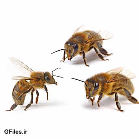 دانلود تصویر با کیفیت سه زنبور از نمای نزدیک ، با کیفیت بالا