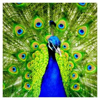 عکس با کیفیت طاووس
