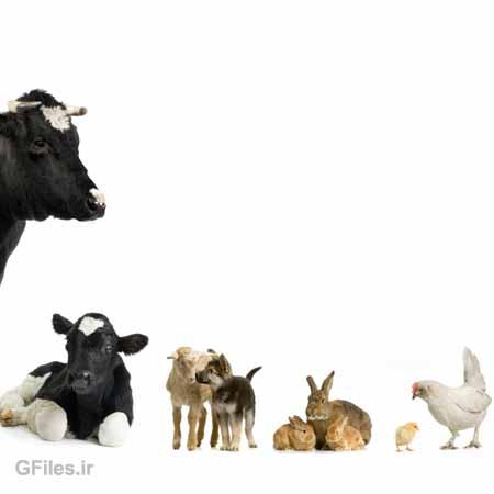 تصویر با کیفیت مجموعه حیوانات اهلی شامل مرغ ، خرگوش ، سگ و گوسفند ، گوساله و گاو