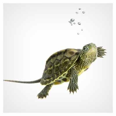 دانلود عکس با کیفیت لاک پشت در حال شنا در آب (Swimming Turtle Stock Photos)