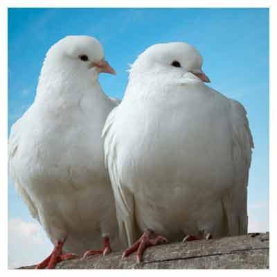 کبوتران عاشق