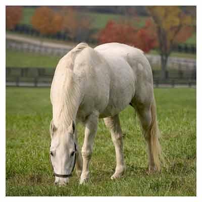 اسب سفید