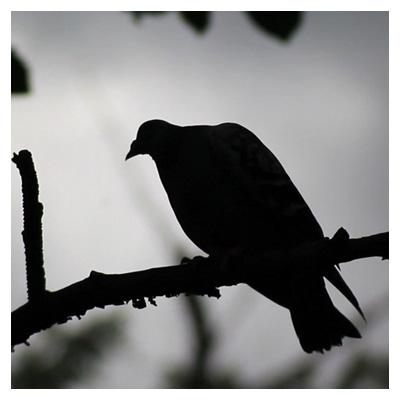ویدیوی کوتاه کبوتر روی شاخه درخت