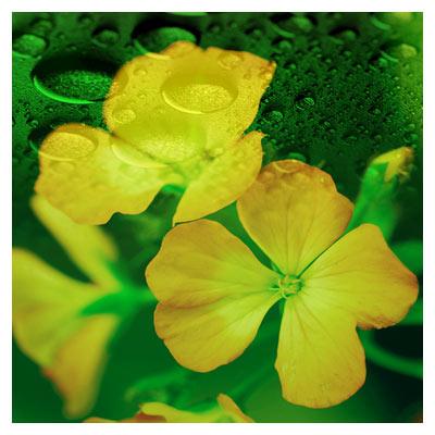 دانلود فایل لایه باز گلبرگهای بهاری زرد همراه با قطرات آب