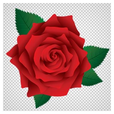 گل رز قرمز بدون پس زمینه (فرمت png با کیفیت بالا)(Beautiful Red Rose Transparent PNG ClipArt Image)
