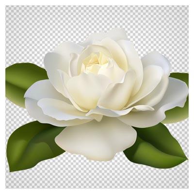 فایل png تک گل رز سفید (بدون پس زمینه)