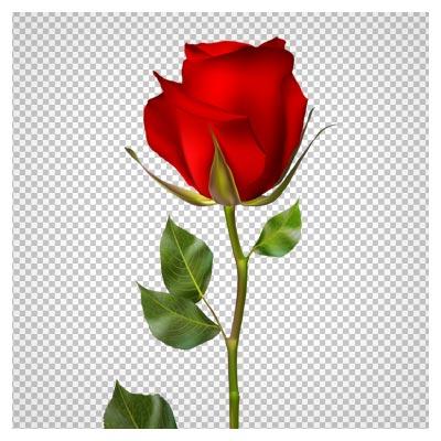 دانلود تصویر بدون پس زمینه و دوربری شده شاخه گل رز قرمز