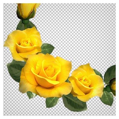 حاشیه دوربری شده گلهای رز زرد (PNG Transparent)