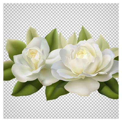Png دوربری شده گل های رز سفید (بدون زمینه)