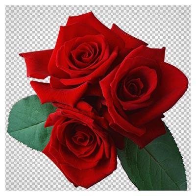 PNG دوربری شده گل رز قرمز (بدون پس زمینه)