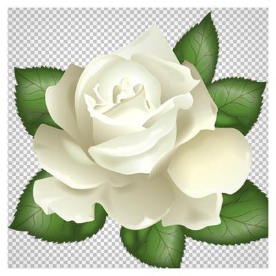 فایل دوربری شده گل رز سفید (png)