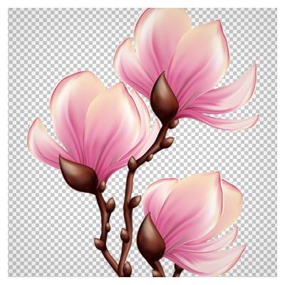 PNG با کیفیت بالای شکوفه های صورتی