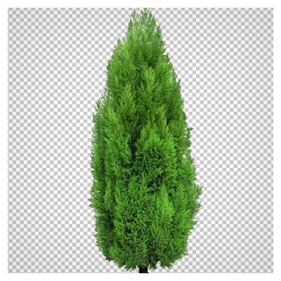 فایل PNG درخت سرو (بدون پس زمینه)(Cypress Tree PNG Clipart)