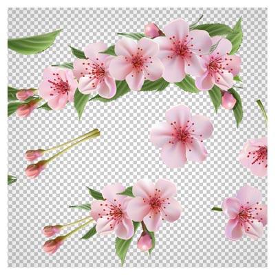 تصویر دوربری شده شکوفه های زیبای بهاری (شکوفه های درخت گیلاس با فرمت png)
