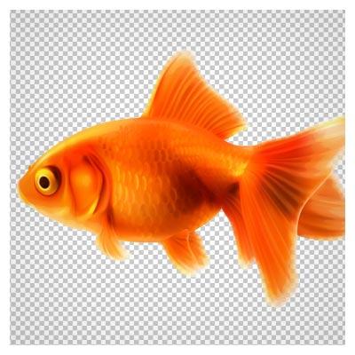 تصویر دوربری شده ماهی قرمز عید (ماهی قرمز طلایی نوروز)