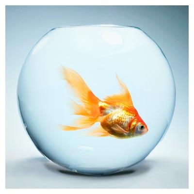 دانلود تصویر با کیفیت تنگ ماهی قرمز (ماهی شب عید)