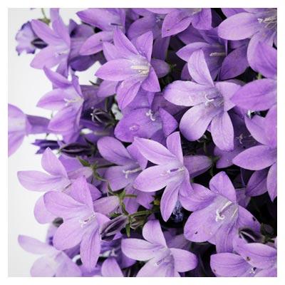 تصویر با کیفیت گل های زیبای یاس با فرمت jpg