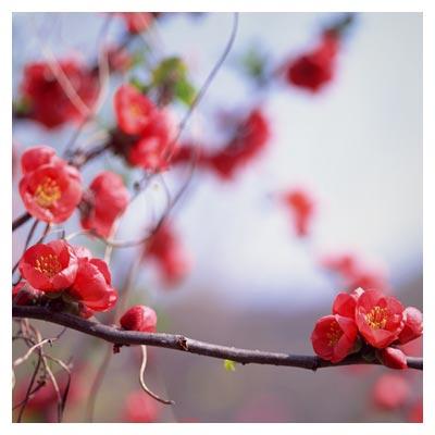 عکس با کیفیت از درخت با شکوفه های زیبای بهاری با فرمت jpg