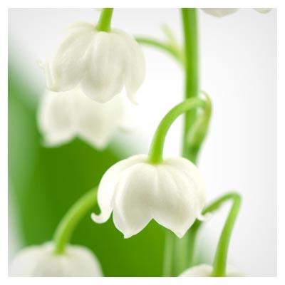 تصویر پس زمینه زیبا از گل زنبق (تصویر استوک طبیعت و گل)