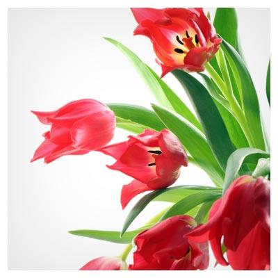 دانلود عکس با کیفیت گل های زیبای لاله وحشی