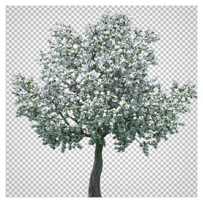 دانلود فایل ترانسپرنت و دوربری شده درخت پوشیده از برف با پسوند png