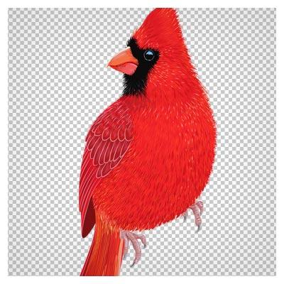 دانلود فایل ترانسپرنت و دوربری شده پرنده کاردینال قرمز با پسوند png