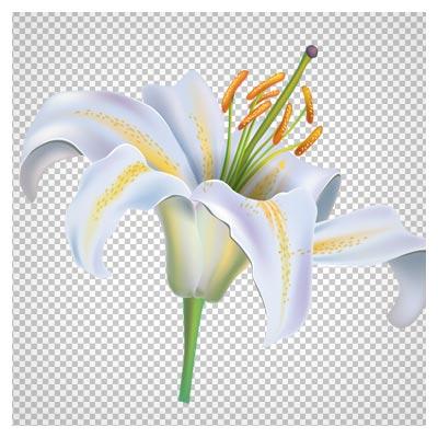 دانلود فایل دوربری شده و بدون پس زمینه گل لیلیوم سفید با فرمت png