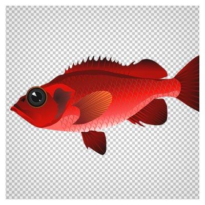 دانلود تصویر دوربری شده و فاقد بکگرند ماهی قرمز چشم درشت به صورت فایل png با کیفیت بالا