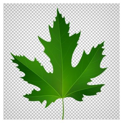 دانلود تصویر تک برگ سبز درخت چنار بصورت فایل ترانسپرنت و فاقد بکگرند