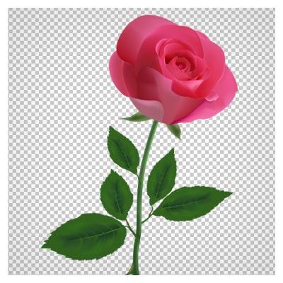 دانلود تصویر شاخه گل رز صورتی بصورت فایل دوربری شده png فاقد پس زمینه