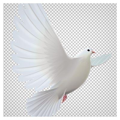 دانلود فایل png کبوتر سفید در حال پرواز به صورت ترانسپرنت و دوربری شده
