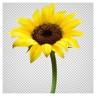 دانلود تصویر گل آفتابگردان کوچک بصورت فایل ترانسپرنت و فاقد بکگرند با پسوند png