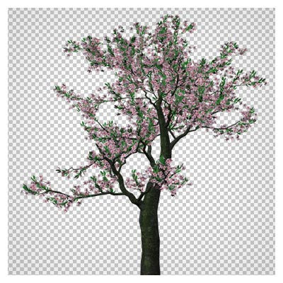 دانلود فایل دوربری شده با فرمت png درخت بلند با شکوفه های صورتی