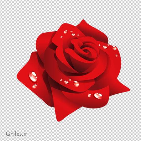 گل رز قرمز با قطره های آب دوربری شده و فاقد پس زمینه