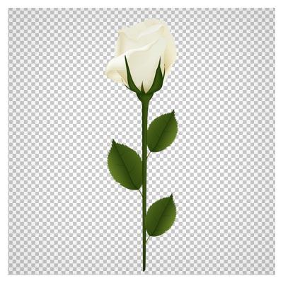 کلیپ آرت شاخه گل رز سفید بصورت فایل ترانسپرنت