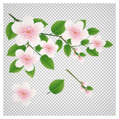 تصویر دوربری شده و بدون پس زمینه شکوفه های سفید روی شاخه با فرمت پی ان جی
