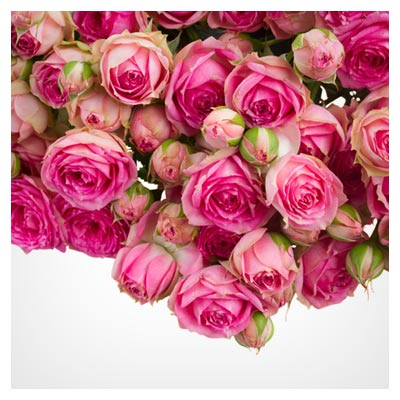 دانلود تصویر با کیفیت از پس زمینه با طرح دسته گل های رز صورتی