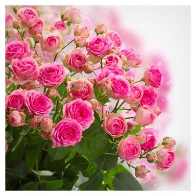 دانلود عکس با کیفیت از دسته گل های زیبای رز صورتی با فرمت jpg